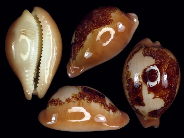 Austrasiatica sakuraii - (Habe, 1970) - de Mer de Chine !!! 3336_p10