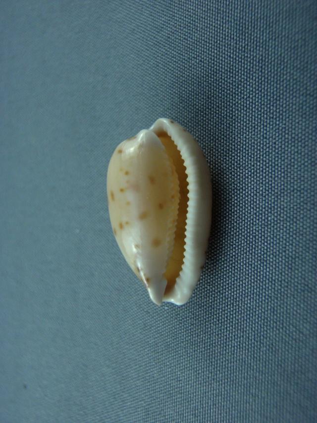 Notocypraea comptonii - (Gray, 1847) Austra14