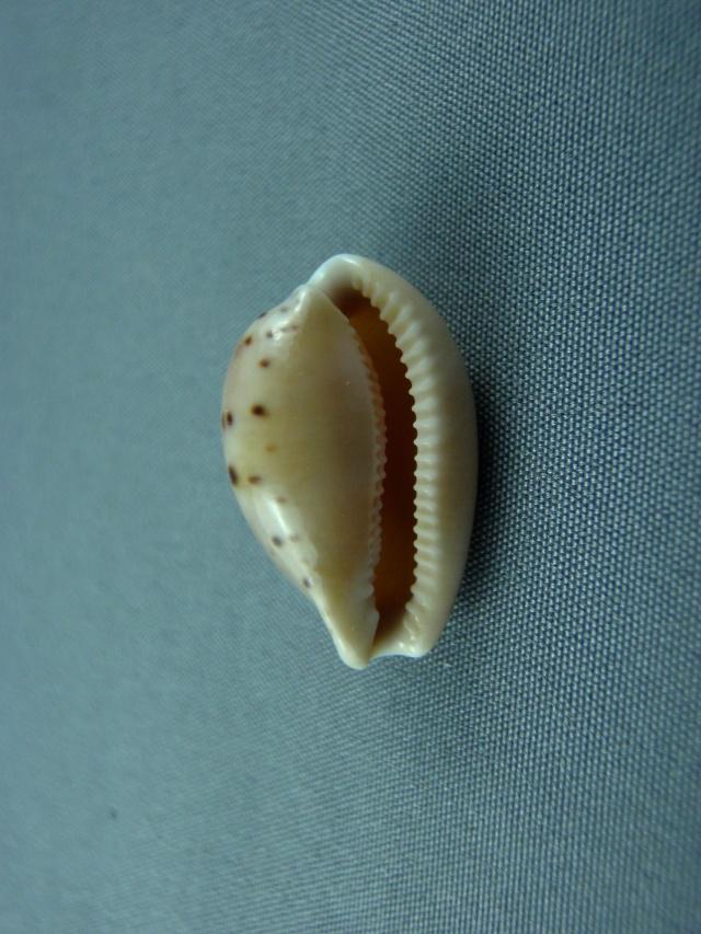 Notocypraea comptonii trenberthae - Trenberth, 1961 Austra17