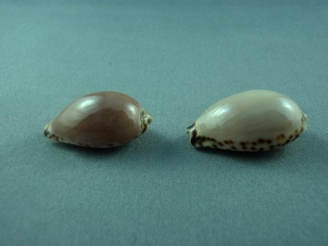 Notocypraea angustata - (Gmelin, 1791) Austra21