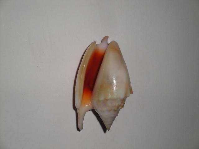 Euprotomus bulla - (Röding, 1798) Bulla_10