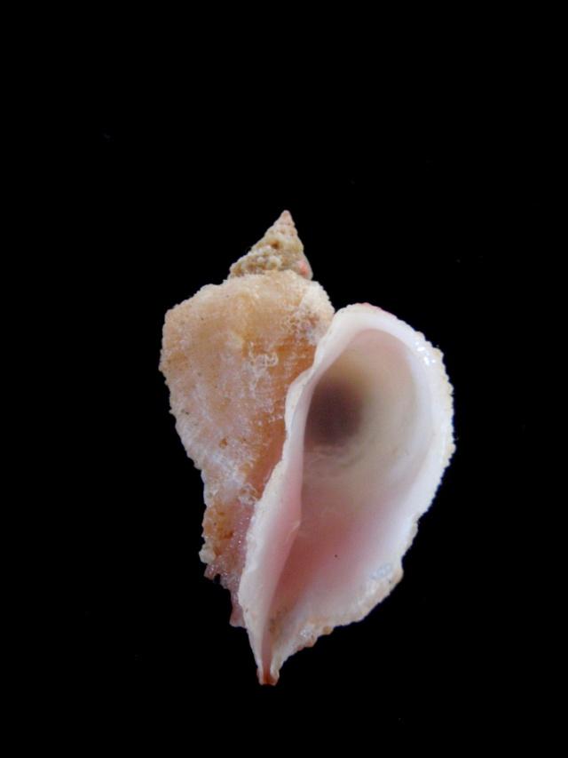 Coralliophila caroleae - D'Attilio & Myers, 1984 Cardio11