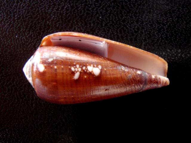 Conus (Darioconus) vezoi  (Korn, W., H.-J. Niederhöfer & M. Blöcher, 2000) Cones_13