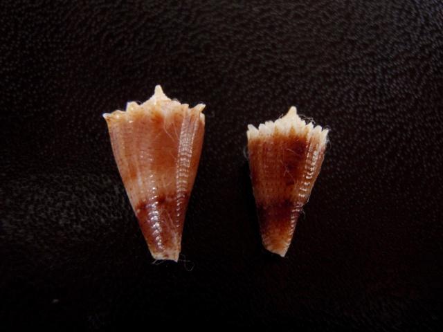 Conus (Stephanoconus) chiangi   Azuma, 1972 Cones_41