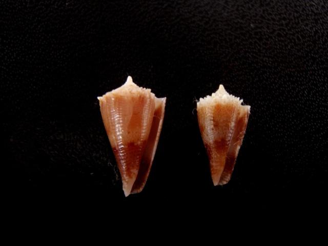 Conus (Stephanoconus) chiangi   Azuma, 1972 Cones_42