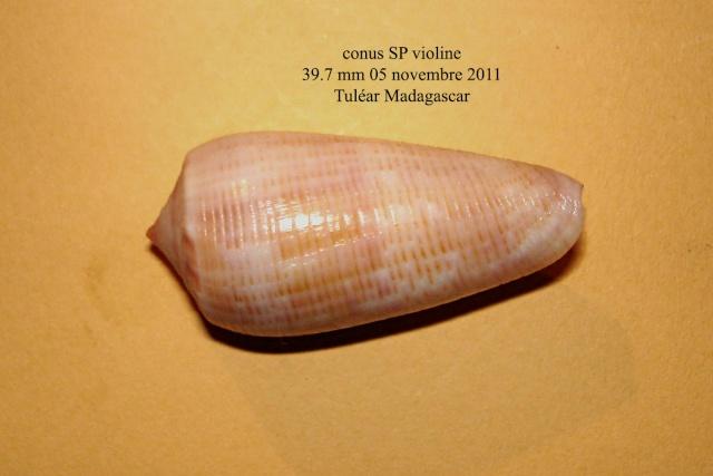 Conus (Phasmoconus) nimbosus   Hwass in Bruguière, 1792  Conus_10