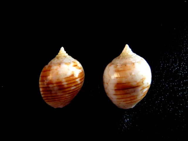 Euplica turturina - (Lamarck, 1822) Coquil14