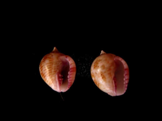 Euplica turturina - (Lamarck, 1822) Coquil15