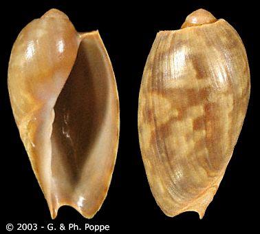 Cymbium patulum - (Broderip, 1830) Cymbiu10