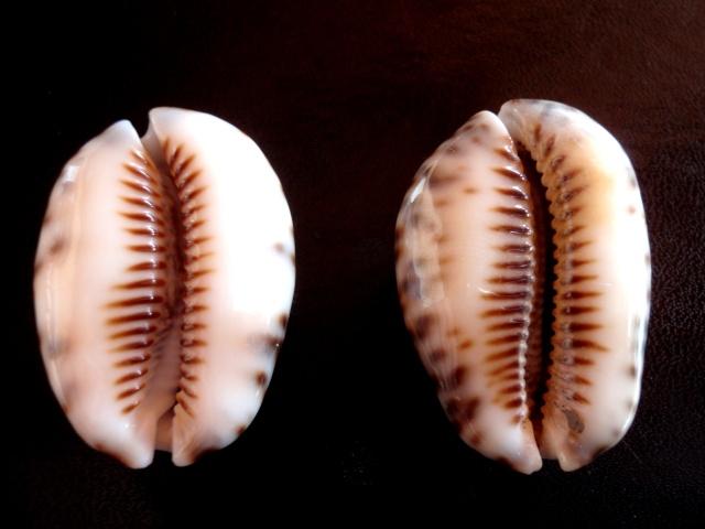 Mauritia depressa depressa - J.E. Gray, 1824 Cyprae11