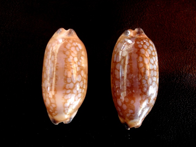 Mauritia scurra indica f. vono - (Staeman & Cotton, 1943) voir Mauritia scurra scurra - (Gmelin, 1791) Cyprae15