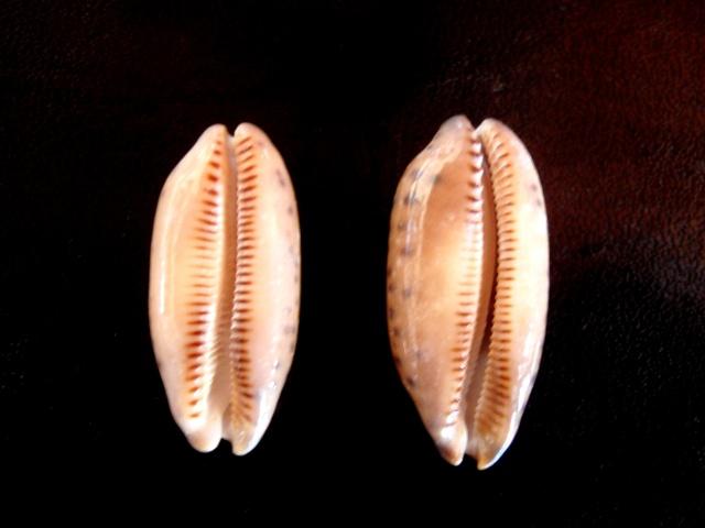 Mauritia scurra indica f. vono - (Staeman & Cotton, 1943) voir Mauritia scurra scurra - (Gmelin, 1791) Cyprae16