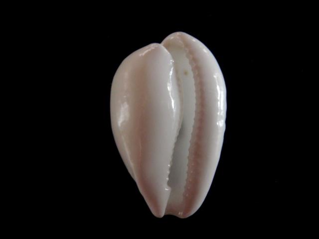 Notocypraea subcarnea - (Beddome, 1897) Cyprae33