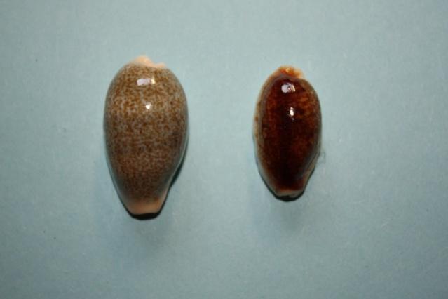 "Erronea errones - (Linnaeus, 1758) - ""Nigérisante"" Cyprae36"