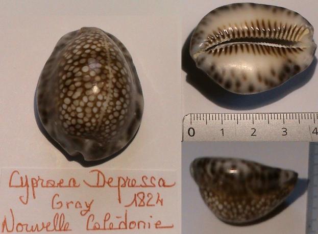 Mauritia depressa depressa - J.E. Gray, 1824 Dsc01410