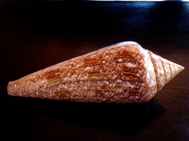 Conus (Cylinder) gloriamaris   Chemnitz, 1777 - Page 3 Gloria12