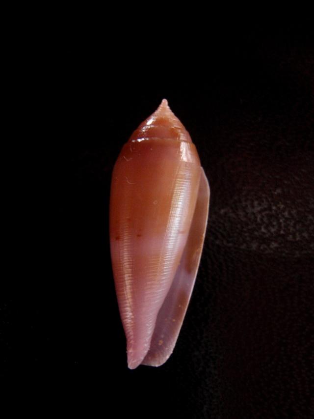Conus (Leporiconus) granum  Röckel & Fischöder, 1985 Hilli_11