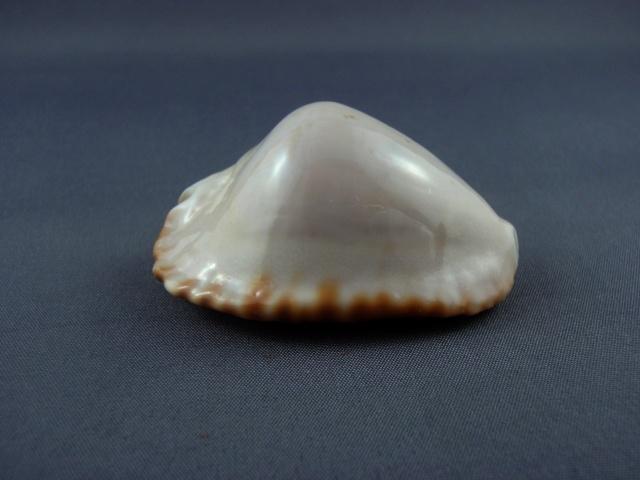Zoila ketyana hypermarginata - (Raybaudi, 1993) Hyperm12