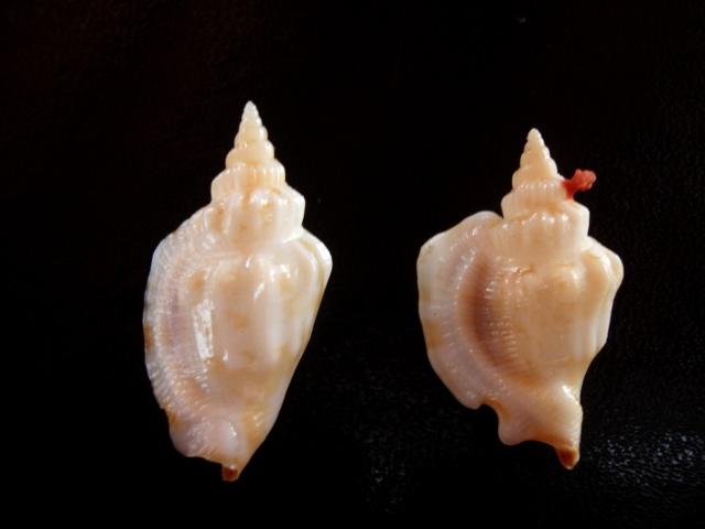 Dolomena pulchella - (Reeve, 1851) Identi22