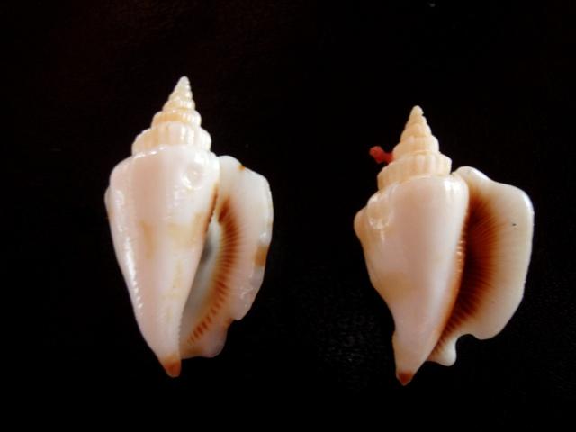 Dolomena pulchella - (Reeve, 1851) Identi23