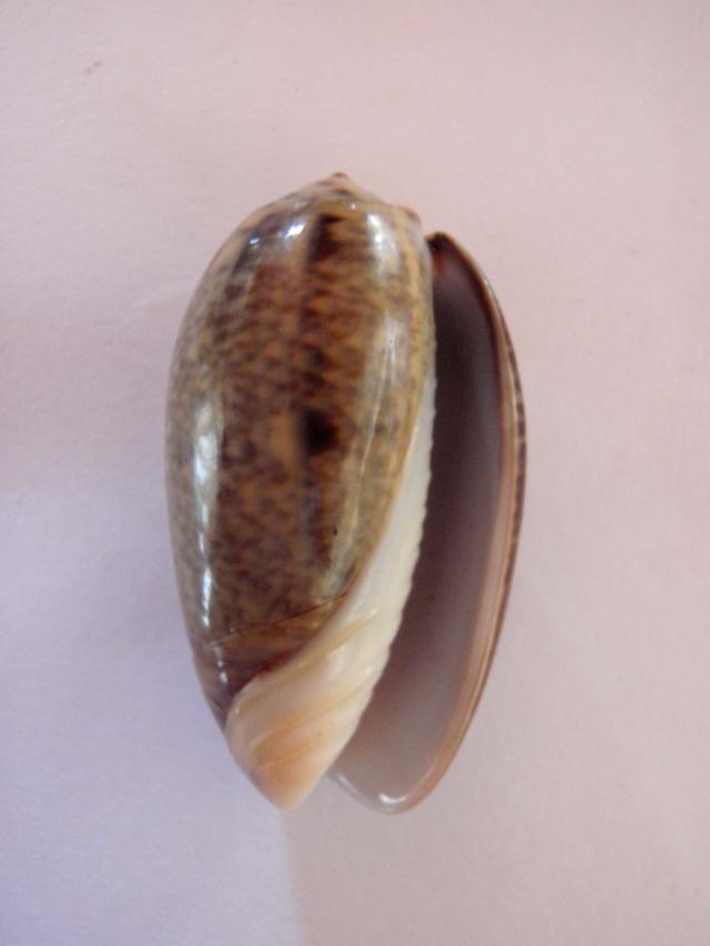 Carmione lecoquiana (Ducros de St Germain, 1857) - Worms = Oliva lecoquiana Ducros de Saint Germain, 1857 Lecoqu11