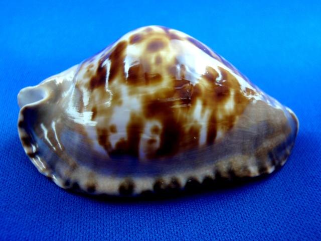 Zoila marginata consueta - Biraghi, 1993 Margin13