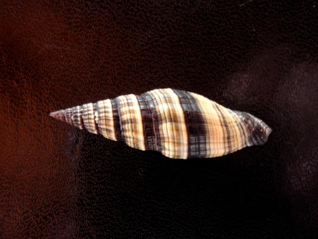 Vexillum weberi - Bartsch, 1918 accepted as Vexillum rugosum - (Gmelin, 1791)  Mitres20