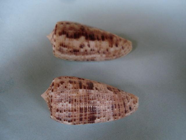 Conus (Phasmoconus) nimbosus   Hwass in Bruguière, 1792  Nimbos10