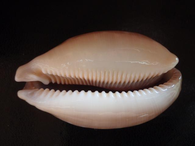 Callistocypraea nivosa - (Broderip, 1827) Nivosa13