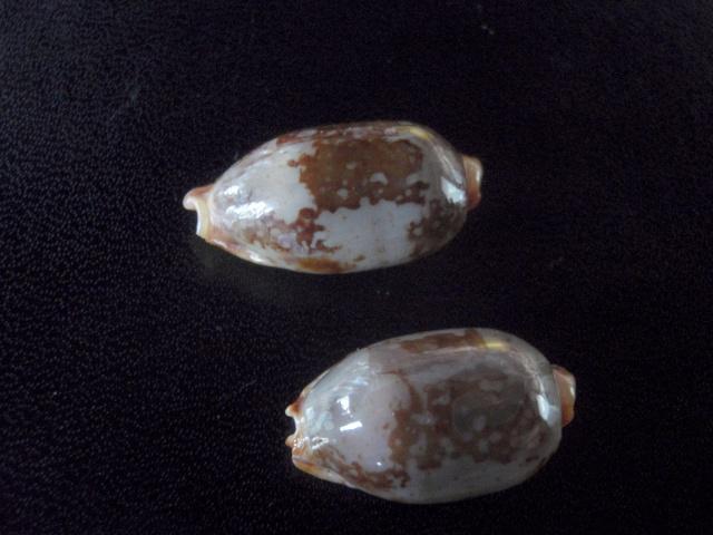 Bistolida stolida rubiginosa - (Gmelin, 1791) P7230010