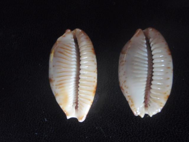 Bistolida stolida rubiginosa - (Gmelin, 1791) P7230011