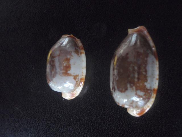 Bistolida stolida rubiginosa - (Gmelin, 1791) P7230012