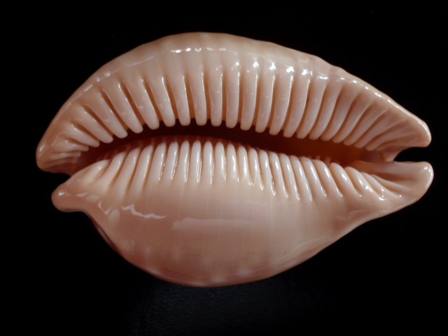 Callistocypraea leucodon leucodon - (Broderip, 1828) P7290021