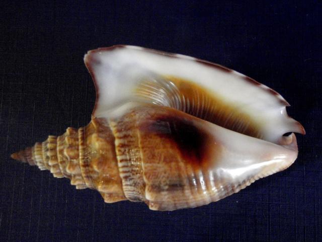 Euprotomus vomer - (Röding, 1798) P8210011