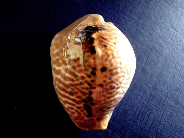 Muracypraea mus donmoorei - Petuch, 1979  P9100019