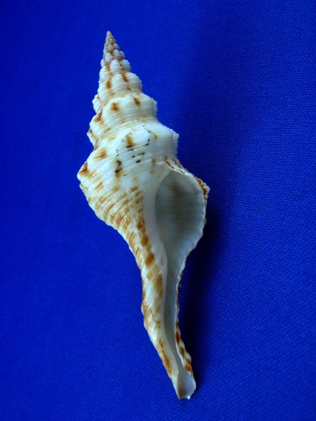 Marmorofusus brenchleyi - (Baird, 1873) Pertus16