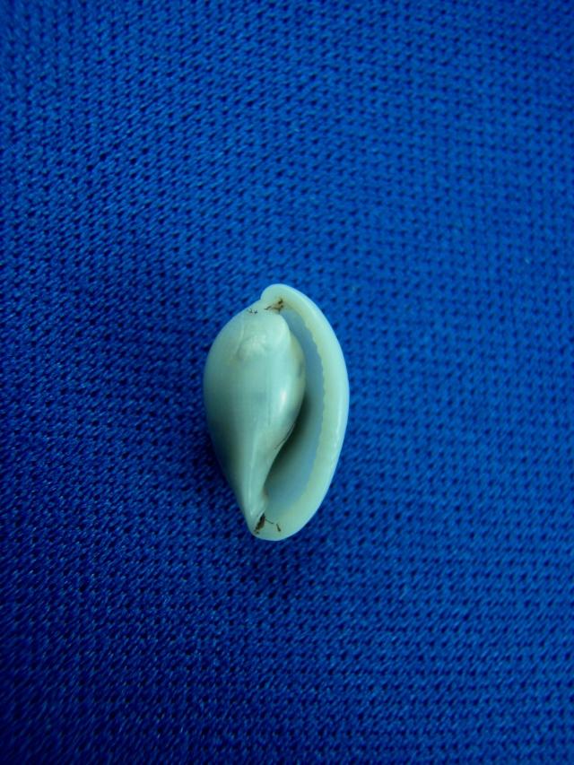 Testudovolva ericae - (Cossignani & Calo, 2002) Photos26