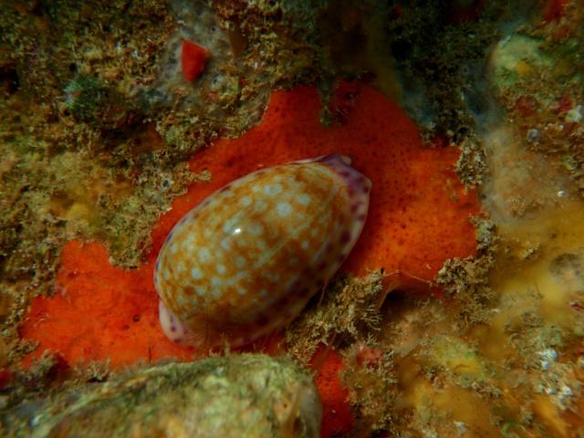 Ovatipsa chinensis - (Gmelin, 1791) - Live Plonge12