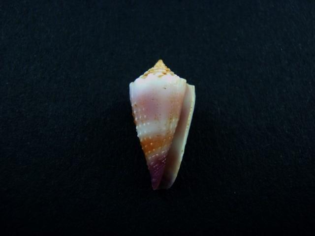 Conus (Lividoconus) floridulus  Adams & Reeve, 1848 Shella17