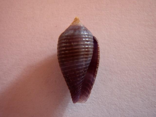 Conus (Leporiconus) glans  Hwass in Bruguière, 1792 Timbia13