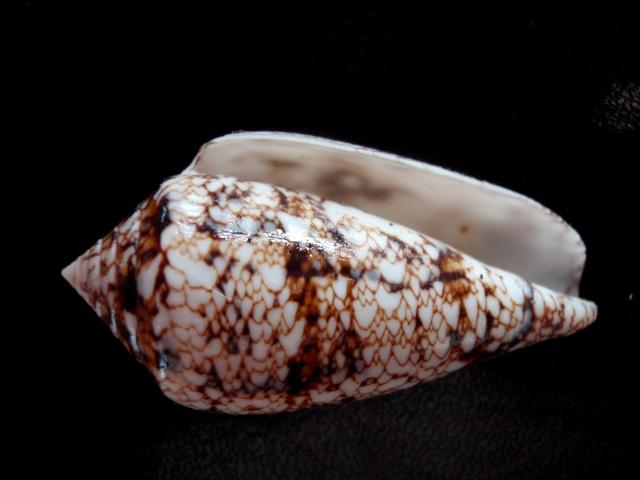 Conus (Cylinder) victoriae   Reeve, 1843 Victor11