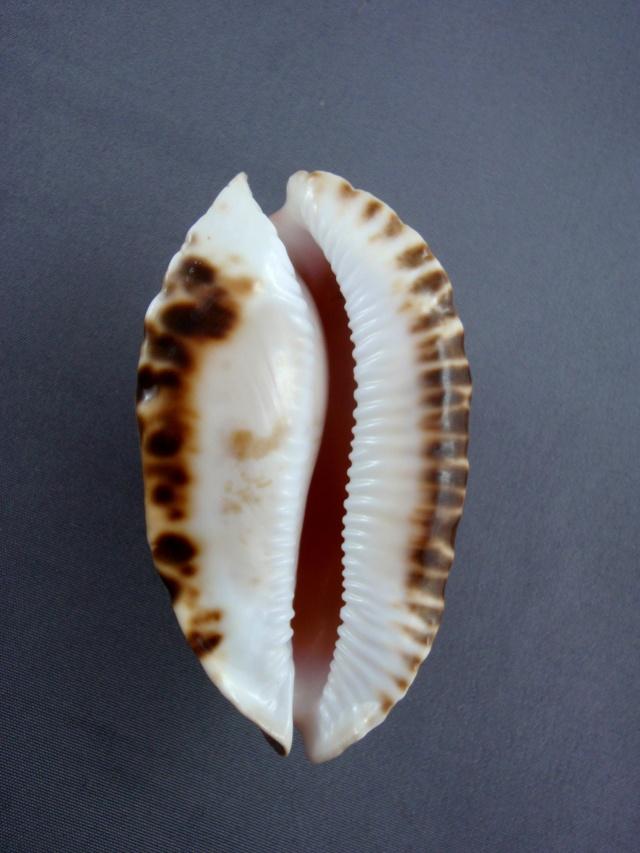 Zoila marginata consueta - Biraghi, 1993 Zoila_33
