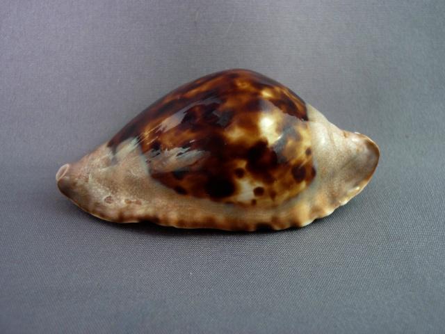 Zoila marginata consueta - Biraghi, 1993 Zoila_35