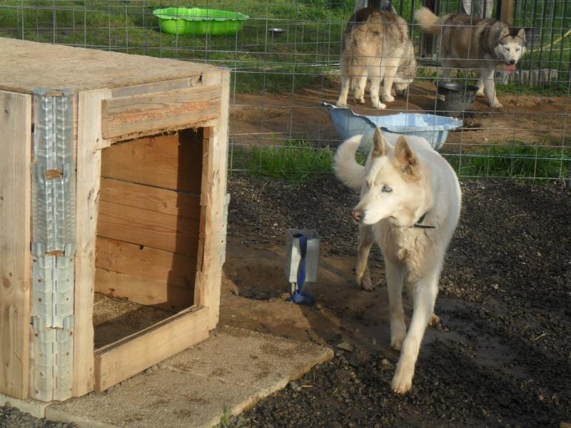 Cali, 5ans, jolie jeune husky  TRANSFEREE A l'Eden Valley (26)DECEDEE Calis_12