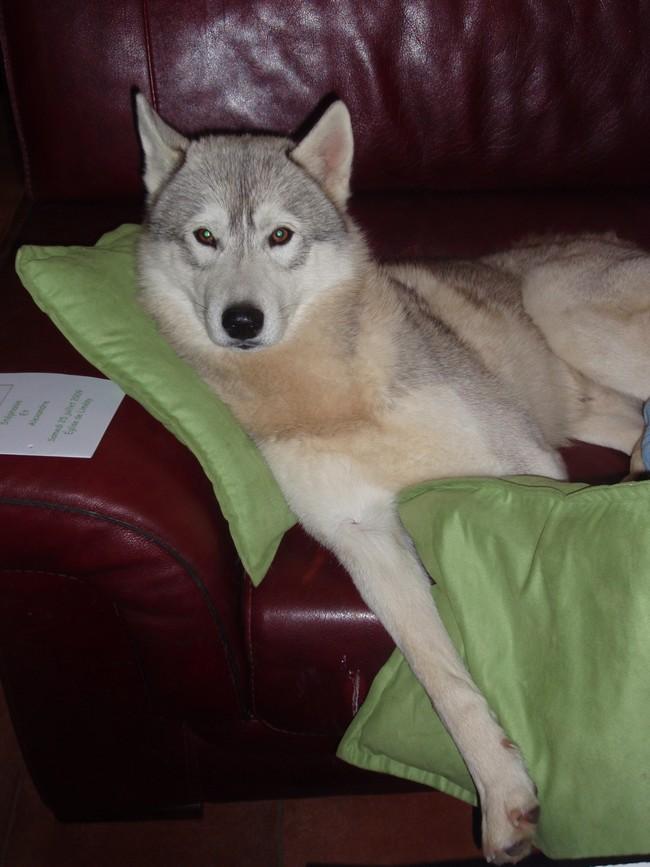 SOS les autorités de Limesy veulent euthanasier Chadow 5ans PAR76 ET AZEITAO (7ans)  Chadow11
