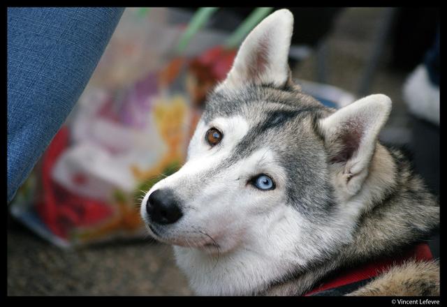 CIBERIE husky (f) 4 ans Née le: 14 SEPTEMBRE 2007(douce caline)DECEDEE Ciberi10