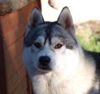 Perdu  à Marquette en Ostrevant (62) Pas de Calais husky gris et blanc Eron10