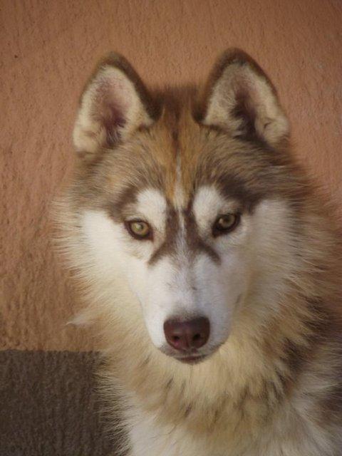 SOS pour 13 Huskies dans un élevage insalubre: Espagne A ADOPTER Esp10