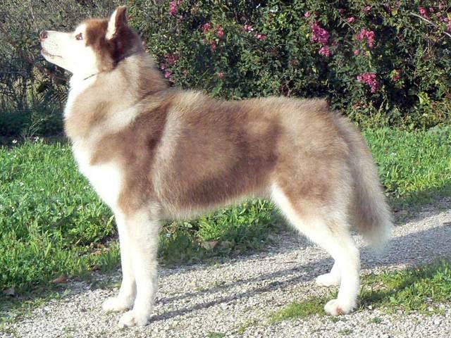SOS pour 13 Huskies dans un élevage insalubre: Espagne A ADOPTER Esp1010