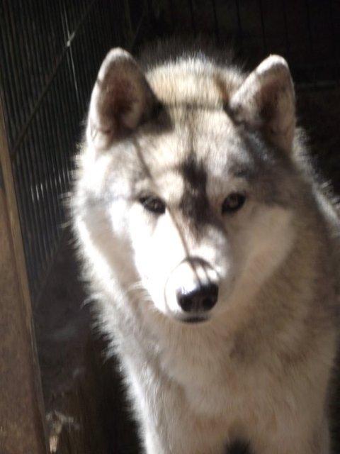 SOS pour 13 Huskies dans un élevage insalubre: Espagne A ADOPTER Esp110